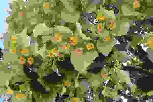 Hoa Đoạn lá bạc 1