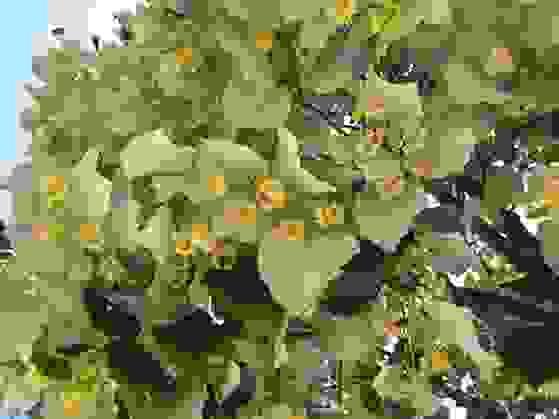 Hoa Đoạn lá bạc (Tilia tomentosa) 1