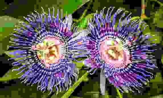 Hoa Lạc tiên tây (Passiflora incarnata) 1
