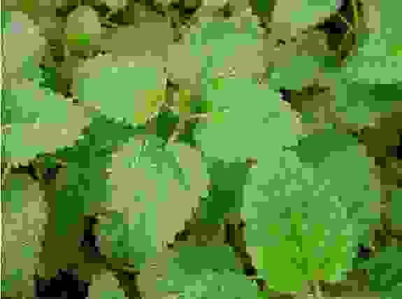 Tía tô đất (Melissa officinalis) 1
