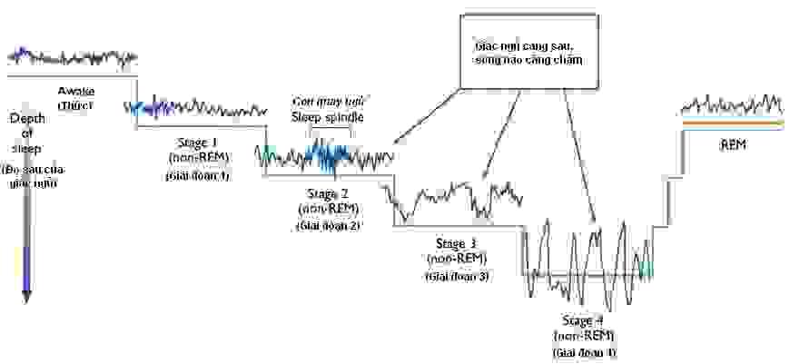 Các giai đoạn của giấc ngủ: REM & NREM 1
